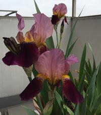 ジャーマン・アイリスの花が咲いた! - ルドゥーテのバラの庭のブログ