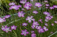 満開になったムギワラギク - あだっちゃんの花鳥風月