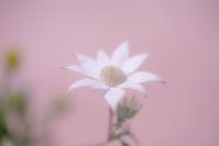 Flannel flower - Une fleur