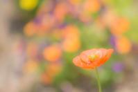 Pavot coloré - Une fleur