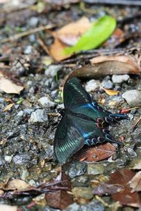 ミヤマカラスアゲハとカラスアゲハの吸水 - 蝶超天国
