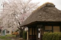 1148 遠野の桜 2017 (3) - 四季彩空間遠野