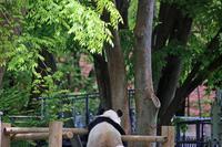 おつかれさまです、ジャイアントパンダ様 - 動物園のど!