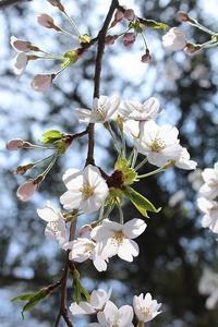 春爛漫⑦(中島の地蔵桜・夏井の千本桜) - 風の中で~