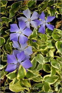 purple flower - caetla