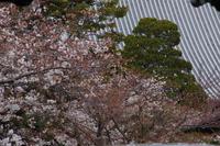 桜  2017  堀川通り界隈 - 写真部