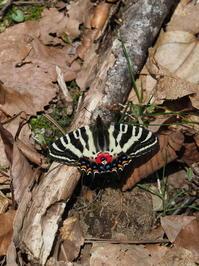 再び白川村のギフチョウ - 自然を楽しむ