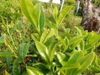 新茶と夏野菜の芽 - ご機嫌元氣 猫の森公式ブログ