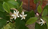 5月+春の花 レモン&オリーブ - 風に吹かれて+++水の町にくらす