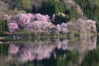 長野 大町市 中綱湖のオオヤマザクラ 前半 - 日本あちこち撮り歩記