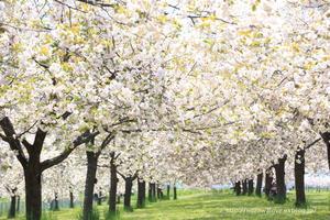小布施 千曲川堤防桜堤にて 「圧倒的桜。2017」 - 野沢温泉とその周辺いろいろ
