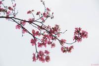 枝垂れるツツジ - 散策のすすめ