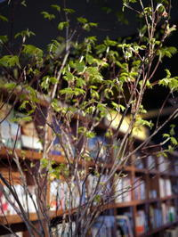 毎週土曜日に活け込みをしている「WORLD BOOK CAFE」さん。今週は羽団扇楓(はうちわかえで)。2017/05/06。 - 札幌 花屋 meLL flowers