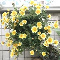 【貰】春菊の花。 - いつかきっと