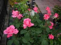 庭の薔薇 「芳純」 (2017年 5月) - 春&ナナとHappy LIfe