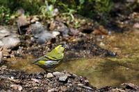 水場のマヒワ - 武蔵野の野鳥