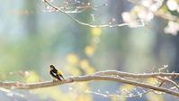 キビタキ - 北の野鳥たち