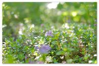 薄い紫の。 - Yuruyuru Photograph