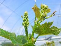 葡萄の花芽 チョコチップクッキー - 葡萄と田舎時間
