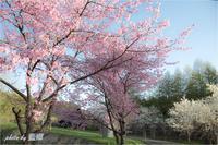 咲いた、咲いた、サクラが、・・・ - 藍の郷