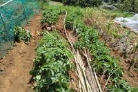 """ジャガイモの初収穫... - 〔家庭菜園日記〕 """"すろーらいふ"""" 茅ケ崎のはまちゃん. 野菜つくり"""