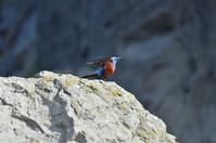 今年のイソヒヨドリ - 野の鳥  撮る録 in湘南