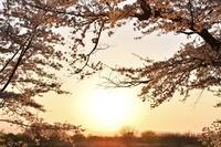 城ヶ谷堤の桜並木 桜と菜の花と夕陽 - photograph3