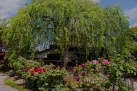 本満寺の牡丹 - 鏡花水月