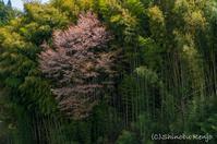 桜旅〜竹やぶの桜 - 撃沈 Photo Diary