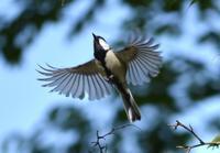シジュウカラの群れ - 西多摩探鳥散歩