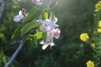 木の花観察 林檎、どんぐり、キツネヤナギ、ニワトコ - きつねこぱん