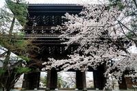 京都の桜2017 ソメイヨシノ彩る金戒光明寺 - 花景色-K.W.C. PhotoBlog