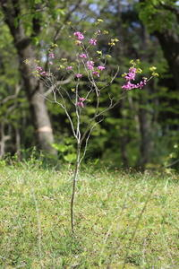 この植物の名前はお初です。ハナズオウ - 平凡な日々の中で