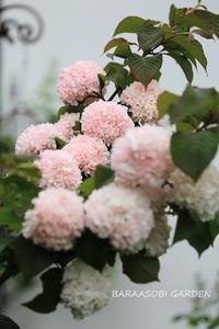 オオデマリ - バラと遊ぶ庭