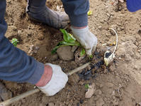 サツマイモの苗、竹棒使って斜め植え(5・3~4) - 北鎌倉湧水ネットワーク