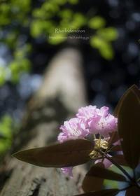 石楠花の森 - ぽとすのくずかご
