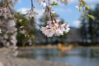 毛越寺の桜☆彡 - DAIGOの記憶