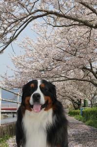 2017 桜♪ - Go!Go!Bernese!