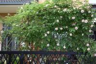 コーネリアが咲き始め・・ - 緑のチョーカー