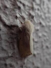 アカハラゴマダラヒトリ Spilosoma punctarium - 写ればおっけー。コンデジで虫写真