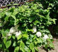 花は淡い黄緑色から白色へ,オオデマリ(大手毬)  - 楽餓鬼