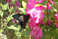 カラスアゲハ   GWが終わって - 蝶のいる風景blog