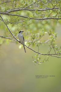 GW2_1 Ashy Minivet - healing-bird