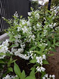 うつぎ・トベラ・つつじの3木花開花中 - 【出逢いの花々】