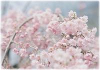 今頃ですが..*桜* - Forest Garden