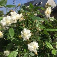 スノー・グースの開花 - わたしの台所時間,庭時間