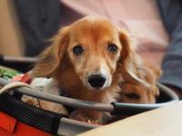 17年5月9日 ミュウちゃん命日&ネムネム(笑) - 旅行犬 さくら 桃子 あんず 日記