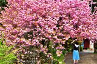 今年の桜♯2 - あ お そ ら 写 真 社