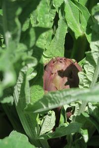 カルチョーフォのつぼみも畑ですくすくと、ペルージャ - ペルージャ発 なおこの絵日記 - Fotoblog da Perugia