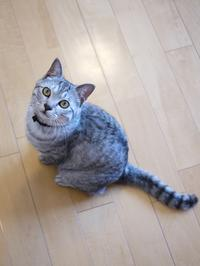 猫のお留守番 ぐらくん編。 - ゆきねこ猫家族